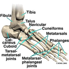 fodrodsknogler anatomi