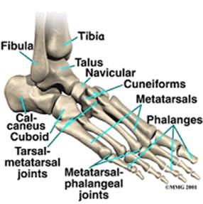 fod knogler