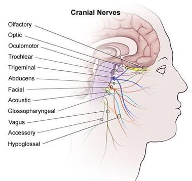 hvor sidder nerverne i kroppen